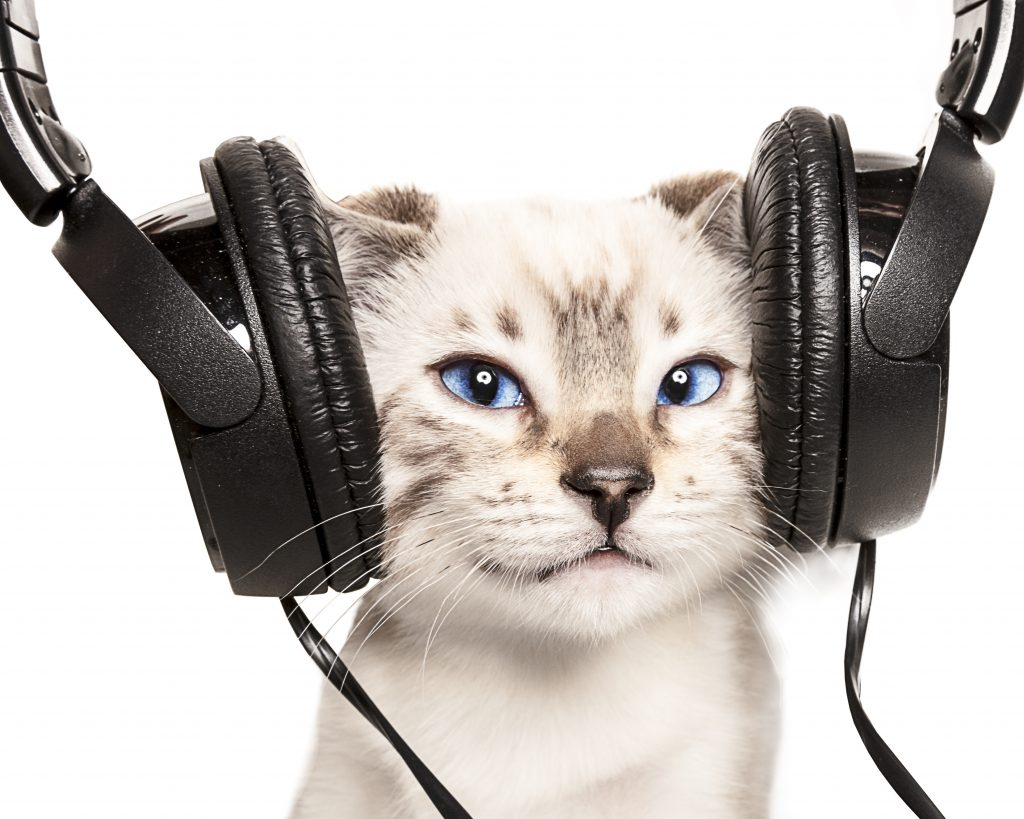 White cat with blue eyes wearing noise-canceling headphones